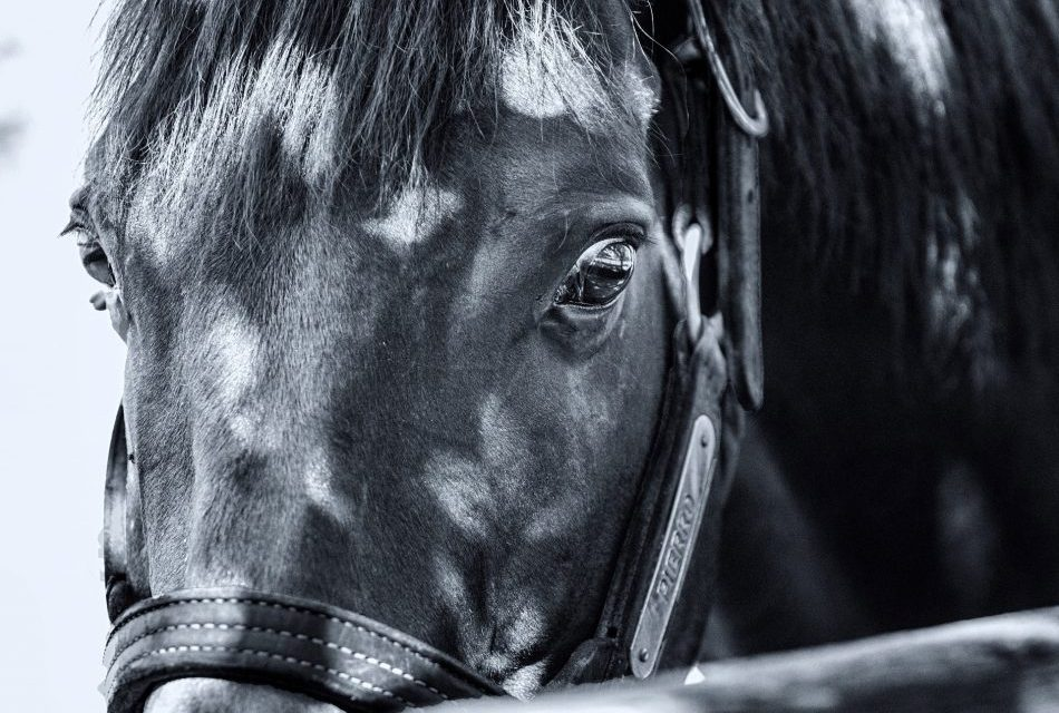 https://www.stallions.com.au/wp-content/uploads/2019/09/Pierro-close-up-950x640.jpg