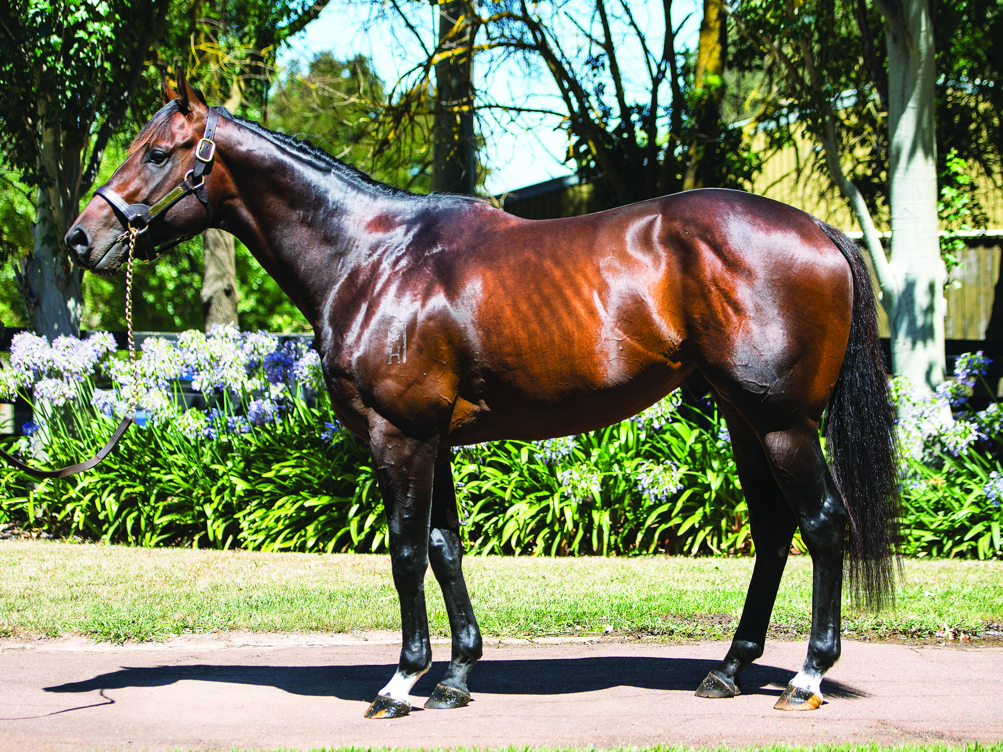 Ducatoon Park Stud's new stallion HUALALAI (Street Cry - Aloha).  The Image is Everything - Bronwen Healy Photography