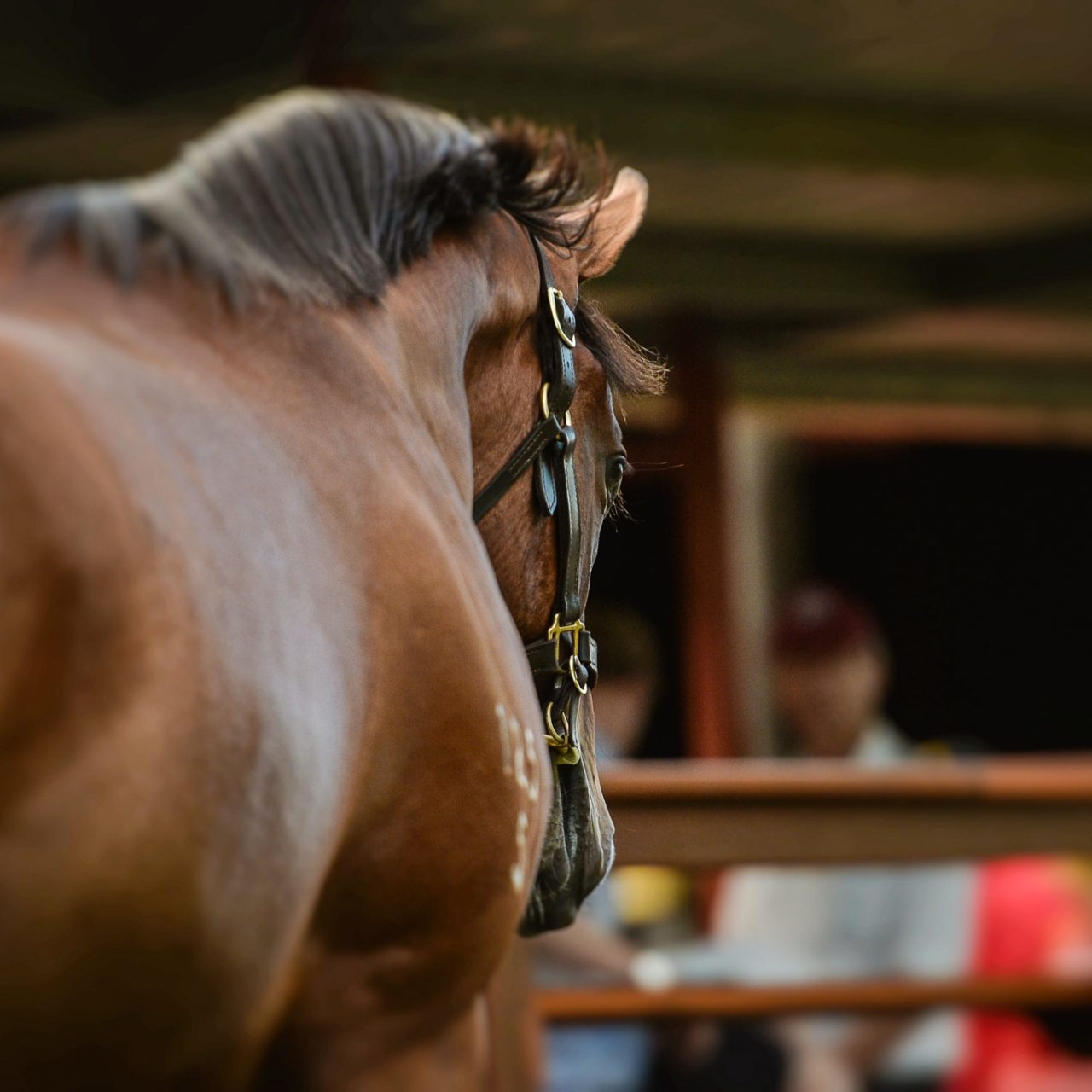 GOLD COAST, AUSTRALIA - 11/01/2017: {Day 1 of the Magic Millions Yearling Sale} - (photo by Sarah Ebbett Photography)