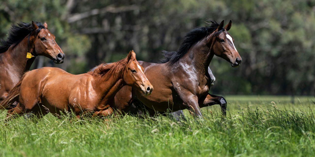 https://www.stallions.com.au/wp-content/uploads/2021/01/Yearlings-S17-20181203-3156-1280x640.jpg