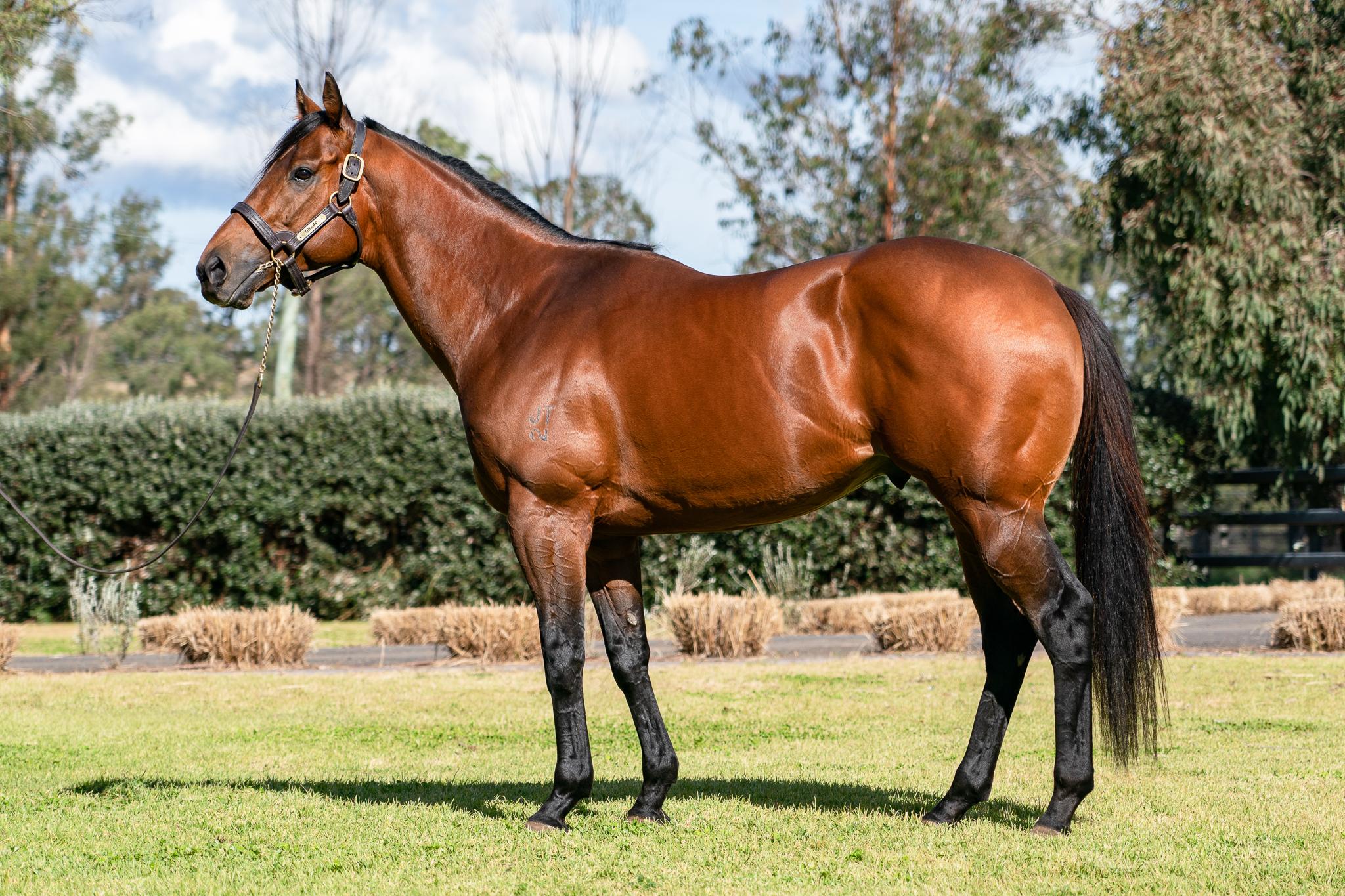 https://www.stallions.com.au/wp-content/uploads/2021/08/Graff-Conformation-1.jpg
